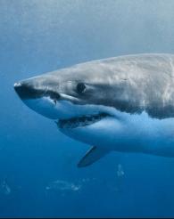 360 VR Büyük Beyaz Köpekbalıkları